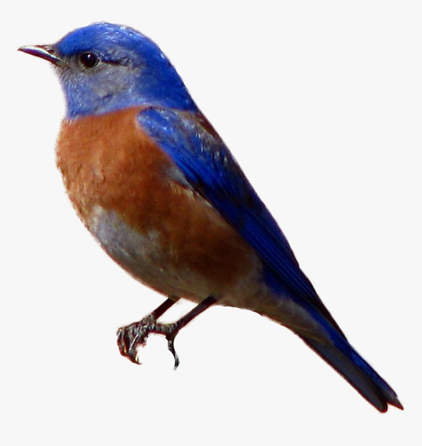 Brown-headed Cowbird Western Bluebird - Bird Sitting Transparent Background, HD Png Download, Free Download