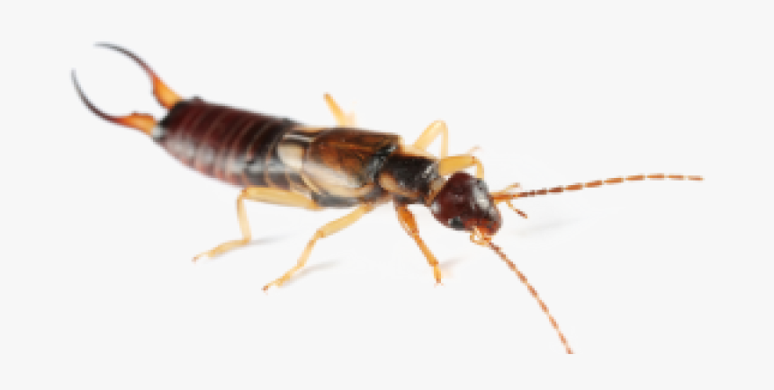 Earwig Png Clipart - Insect, Transparent Png, Free Download