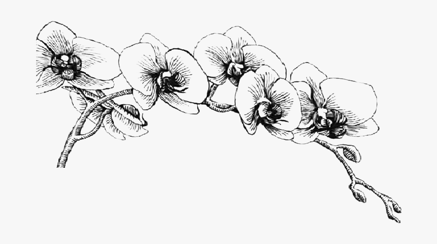 Orchid Drawing Png