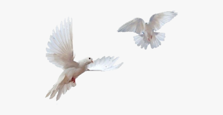 #white #doves - Transparent Background Dove Png, Png Download, Free Download