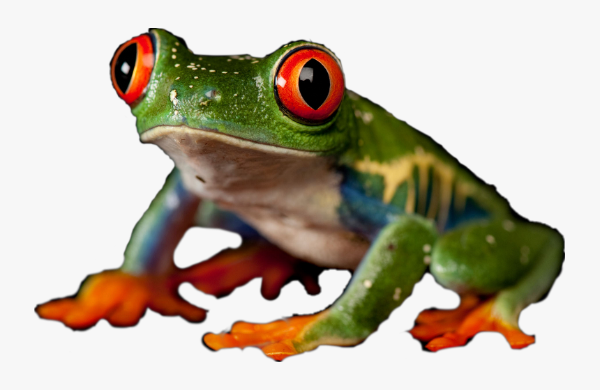 Red-eyed Tree Frog Clipart , Png Download - Red Eyed Tree Frog, Transparent Png, Free Download