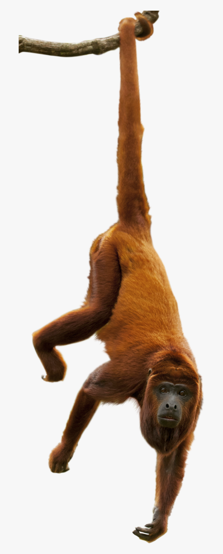 Monkey, The Canopy Layer Canopy Layer Animals Find - Amazon Rainforest Animals Png, Transparent Png, Free Download