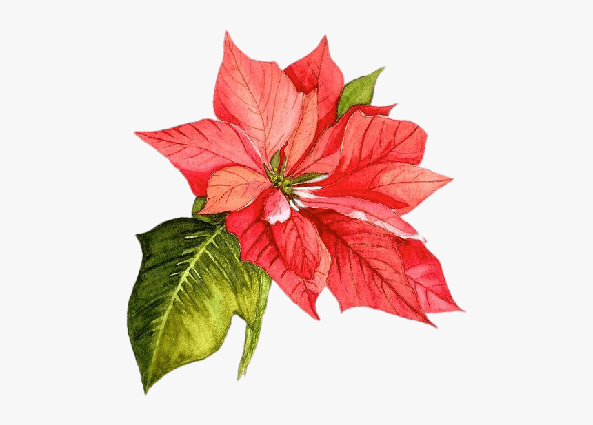 Christmas Poinsettia Png Picture - Christmas Flower Watercolor Png, Transparent Png, Free Download