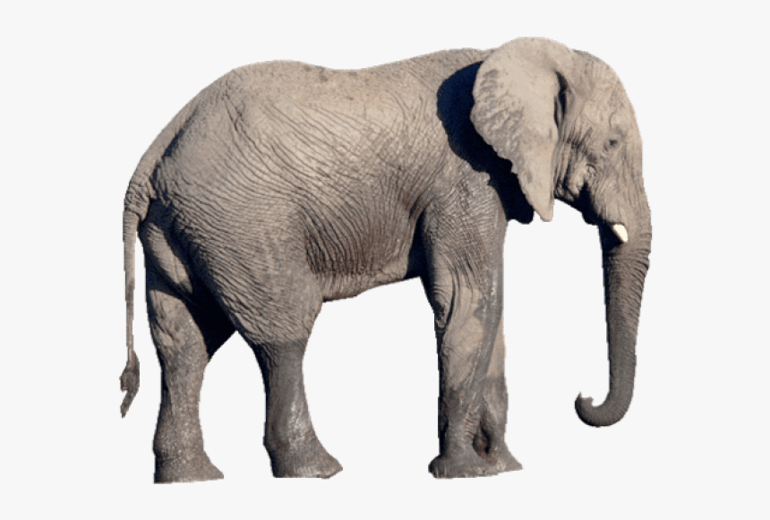 Elephant Png Transparent Png Kindpng Search more hd transparent elephant image on kindpng. elephant png transparent png kindpng