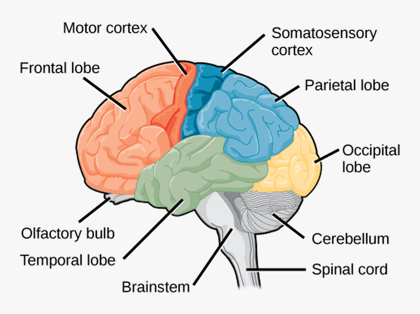 The Central Nervous System - Cortexes Of The Brain, HD Png Download, Free Download