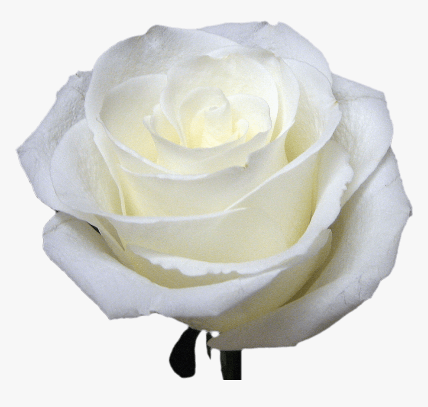 White Roses For Bouquets - Floribunda, HD Png Download, Free Download