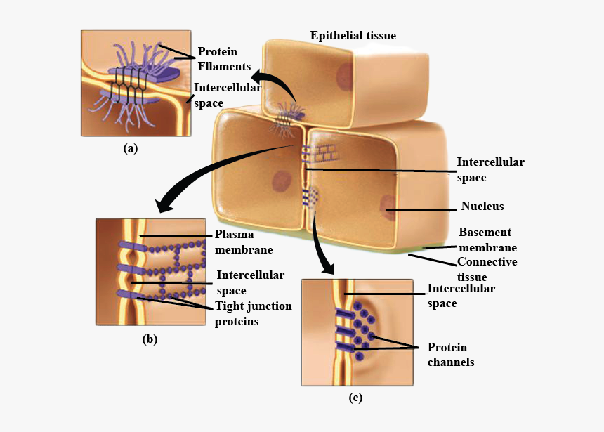 Cell Membrane Png, Transparent Png, Free Download