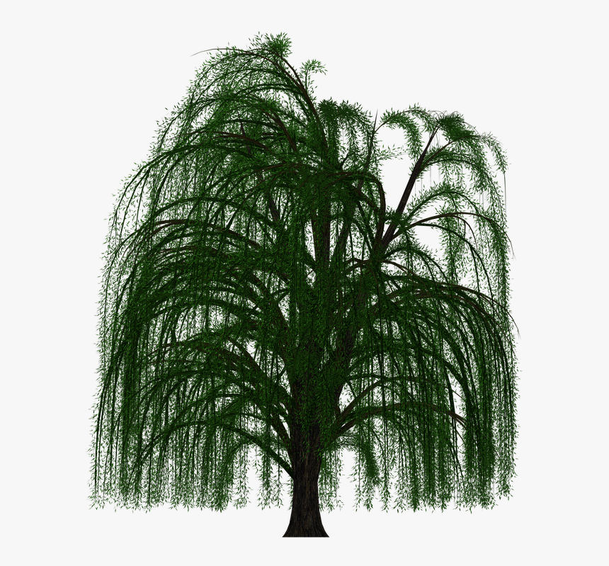 Willow Tree Png - Weeping Willow Tree Transparent Background, Png Download, Free Download