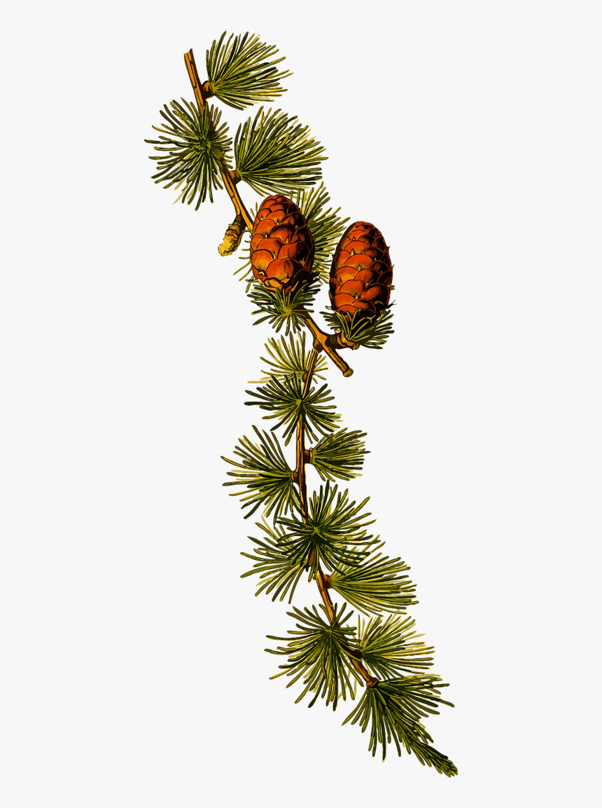 Vector Graphics,free Pictures, Free Photos, Free Images, - Botanical Illustration Larix Decidua, HD Png Download, Free Download