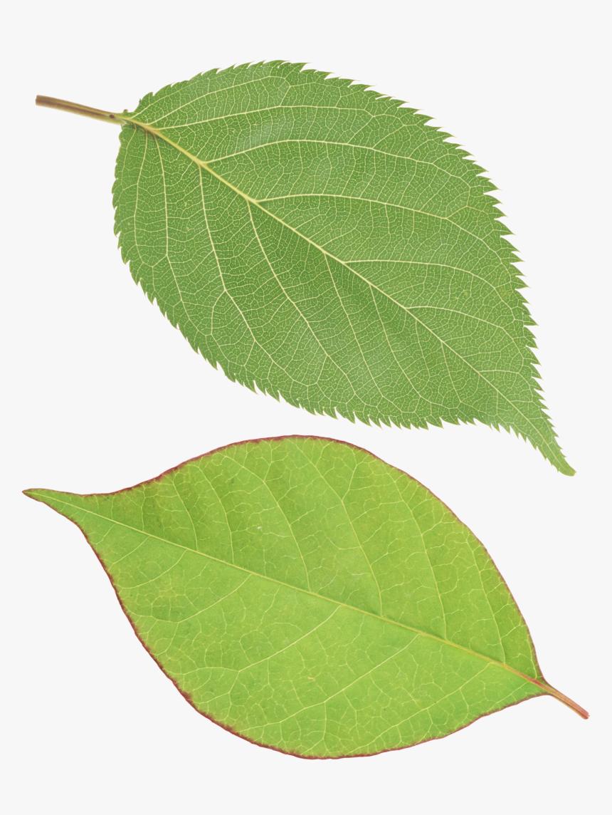 Green Leaf Png - Single Green Leaf Png, Transparent Png, Free Download