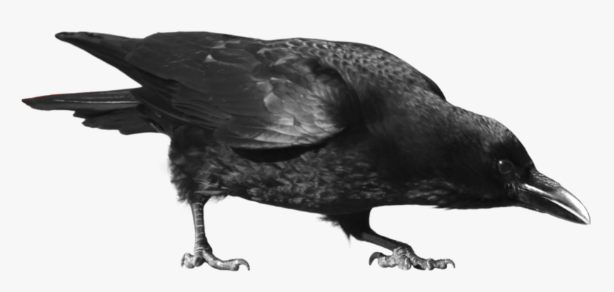 Common Raven Carrion Clip - Crow .png, Transparent Png, Free Download