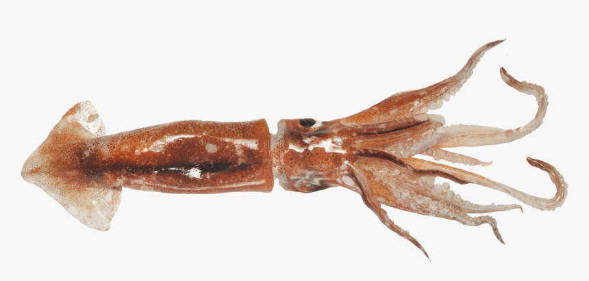 Giant Squid, HD Png Download, Free Download