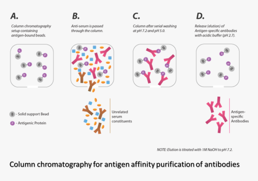 Transparent Antibody Png - Parallel, Png Download, Free Download