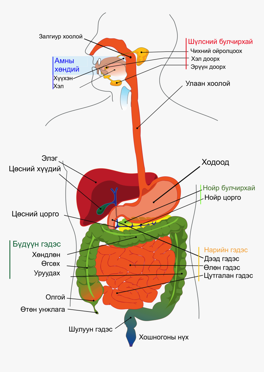 Digestive System Diagram Labelled, HD Png Download, Free Download