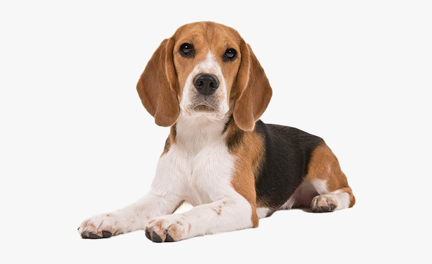 Beagle Dog Puppy Png Clipart Short