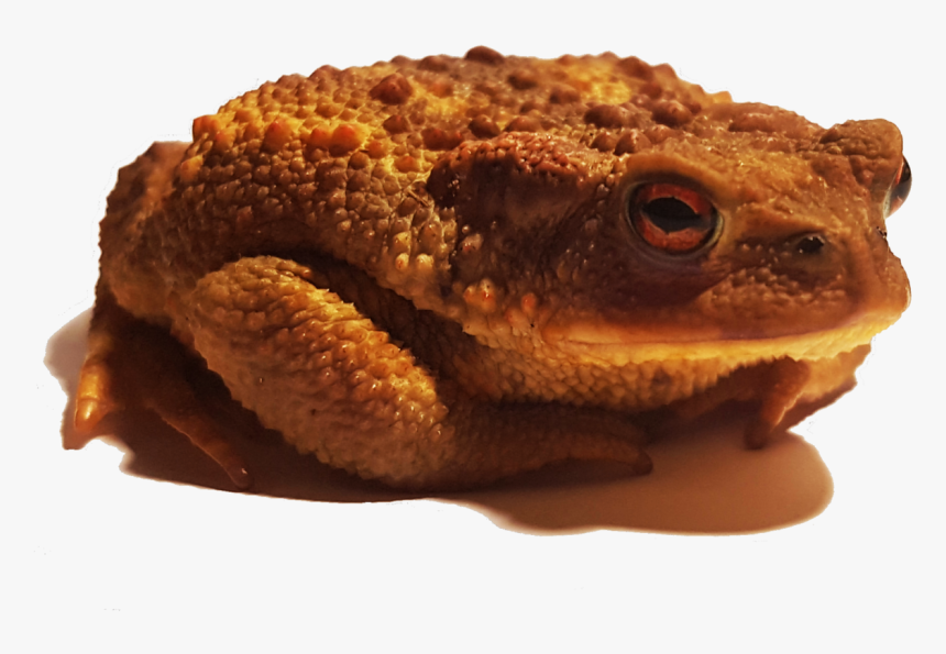 Oak Toad, HD Png Download, Free Download