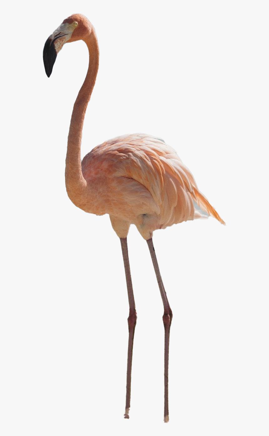 Real Flamingo Png Pic - Flamingo Transparent, Png Download, Free Download