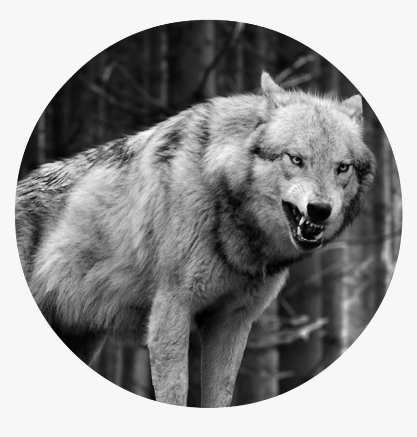 Lone Wolf Wallpapers Group 72 Data Src Full 943295 Wolf Black And White Iphone Hd Png Download Kindpng
