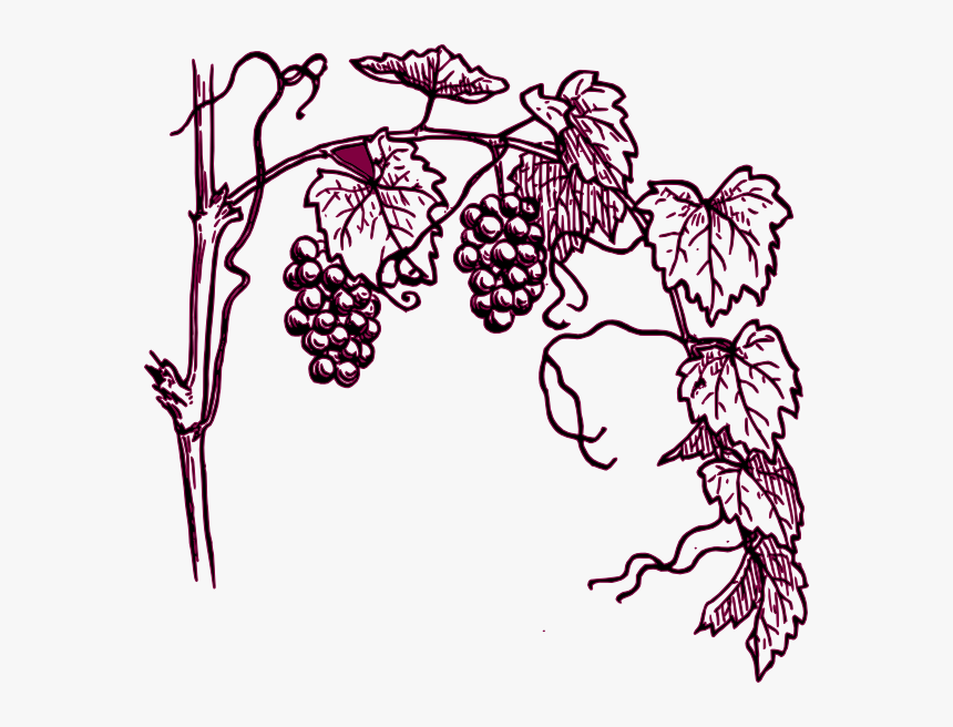 Grape Plant Easy Drawing, HD Png Download, Free Download