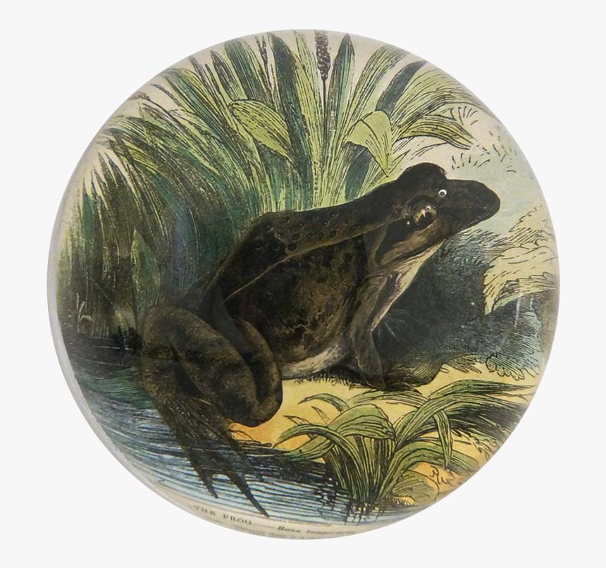 Transparent Toad Animal Png - Northern Leopard Frog, Png Download, Free Download