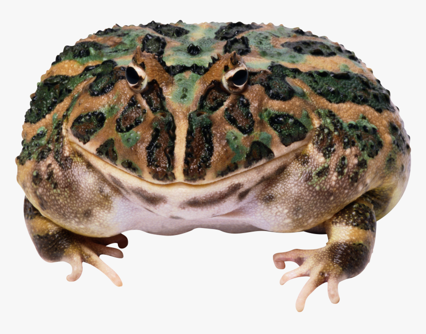 Toads And Frogs, HD Png Download, Free Download