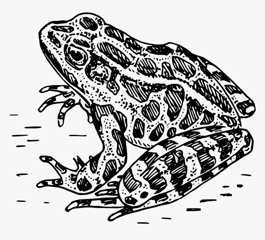 Frog Black And White, HD Png Download, Free Download