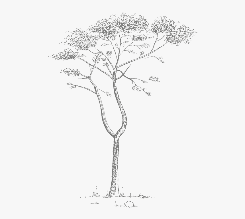 Pond Pine, HD Png Download, Free Download