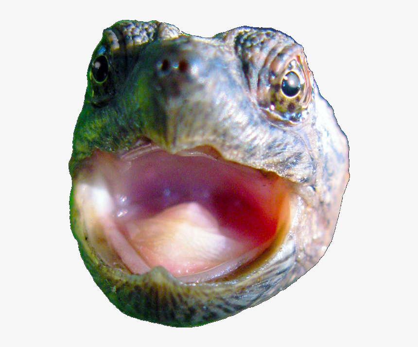 Transparent To Catch A Predator Png Baby Cute Snapping Turtle Png Download Kindpng