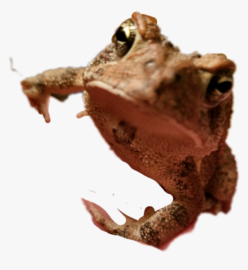 ##toad #frog - True Frog, HD Png Download, Free Download