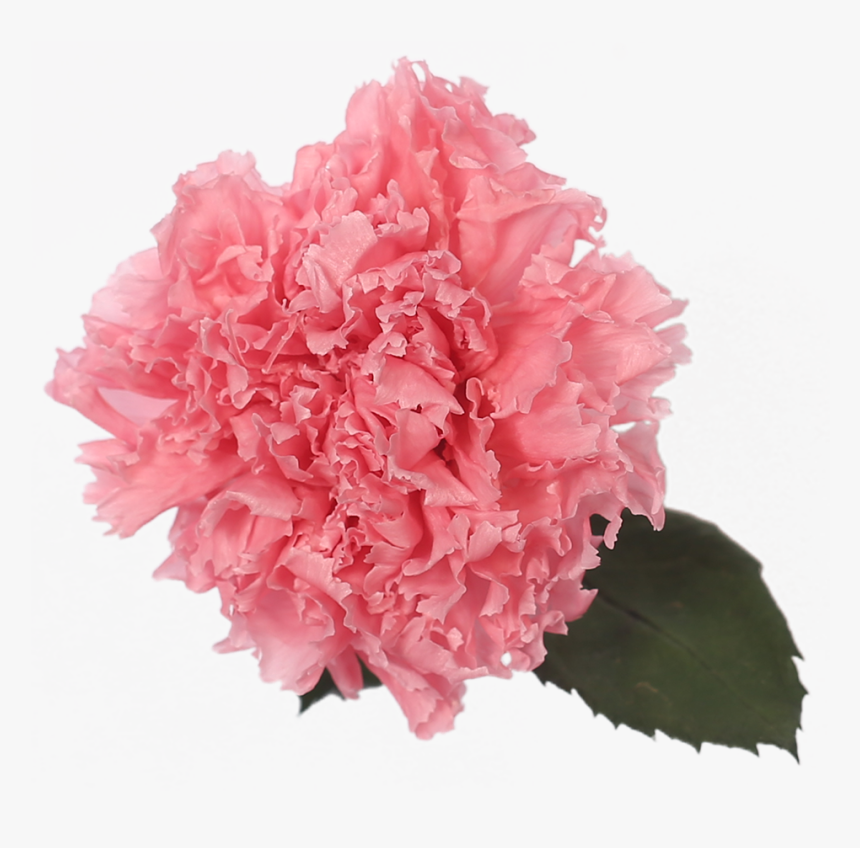 Carnation, HD Png Download, Free Download
