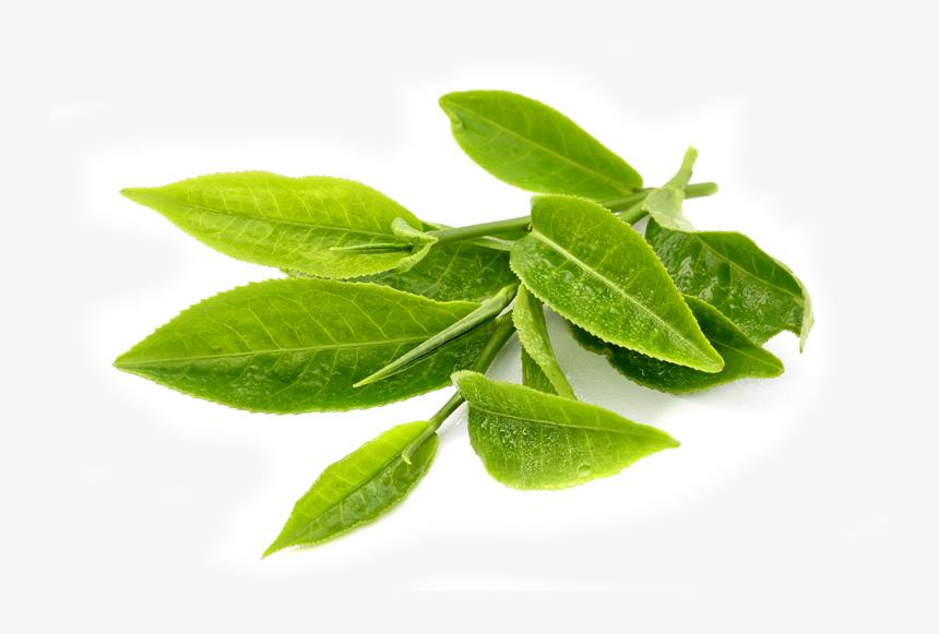 Transparent Green Tea Leaves Png - Green Tea Leaf Png, Png Download, Free Download