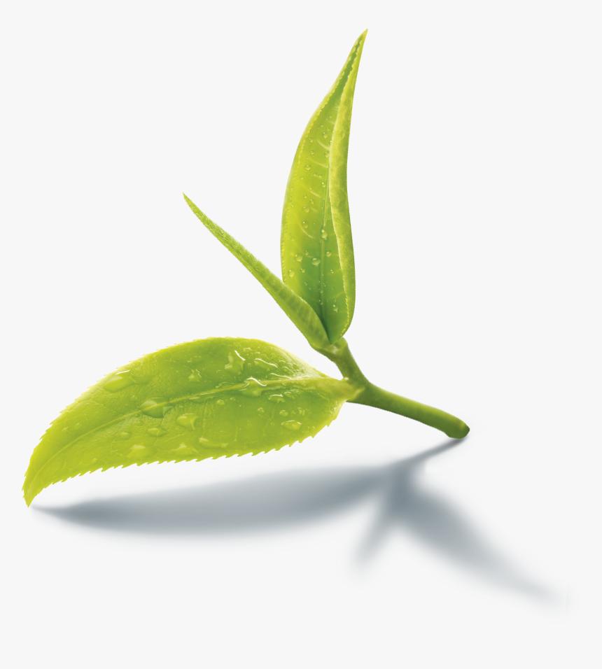 Images Of Black Tea Leaves Png Green Tea Leaf Png Transparent Png Kindpng