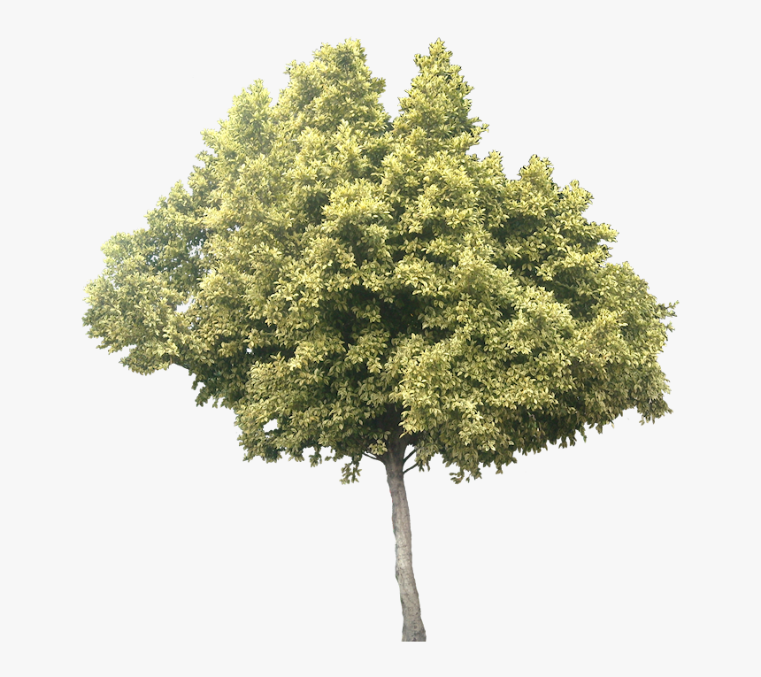 Variegated Ficus Microcarpa - Olive Tree Cut Out, HD Png Download, Free Download