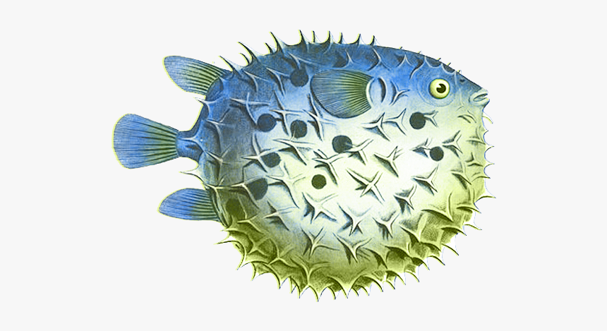 Puffer Fish Png Clipart Puffer Fish Clip Art Transparent Png Kindpng