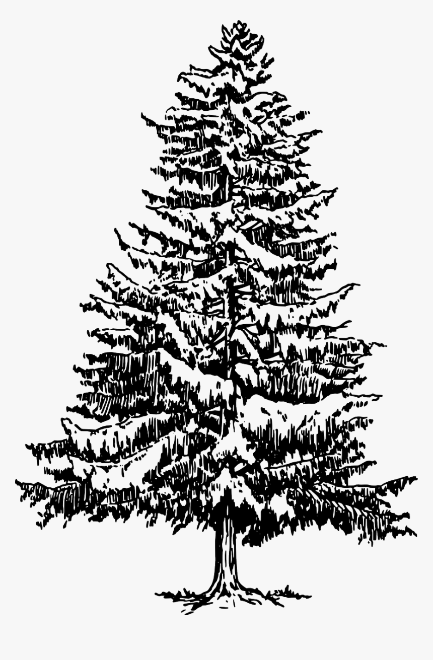 How To Draw A Christmas Tree - Pine Tree Drawing Png, Transparent Png, Free Download