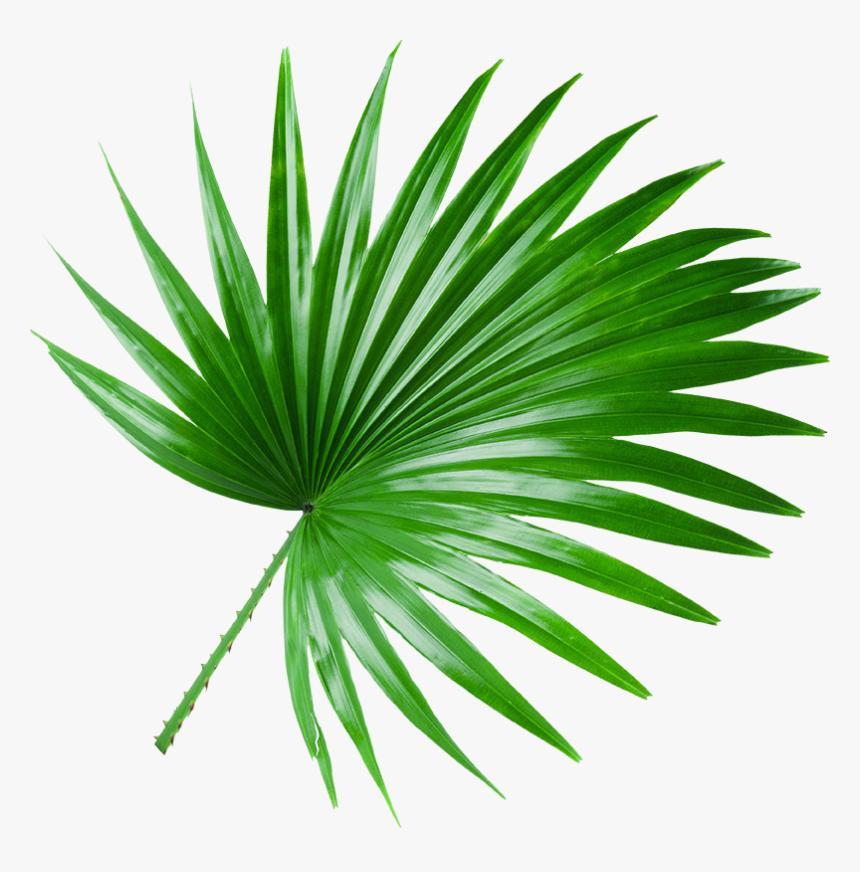 Coco Leaf Png, Transparent Png, Free Download