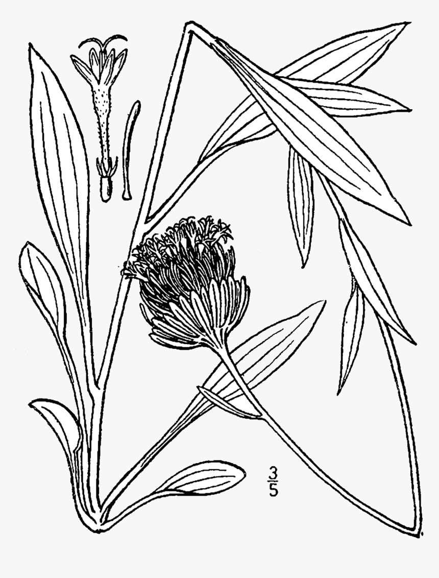 Magr7 001 Pvd - Marshallia Grandiflora, HD Png Download, Free Download