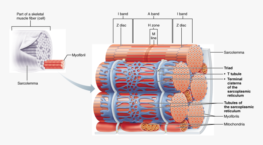 Skeletal Muscle Neuromuscular Junction, Skeletal Muscle, - Relationship Of The Sarcoplasmic Reticulum And T Tubules, HD Png Download, Free Download