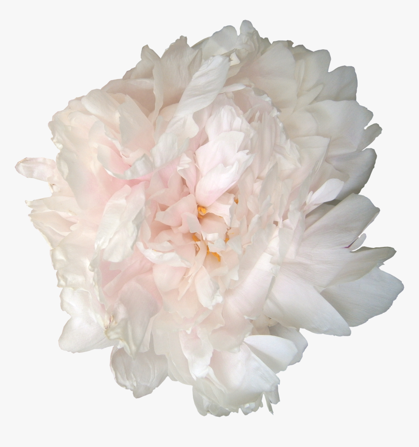 Roses And Peonies - Png Flowers White Peonies, Transparent Png, Free Download