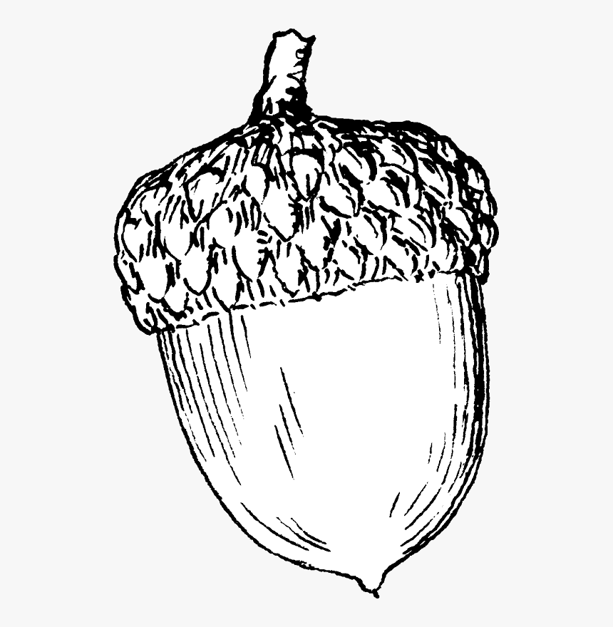 Acorn Printable Coloring Pages - Coloring Pages Of Acorns, HD Png Download, Free Download