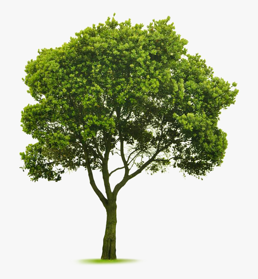 Transparent Elm Tree Png - Cut Out Tree Photoshop, Png Download, Free Download