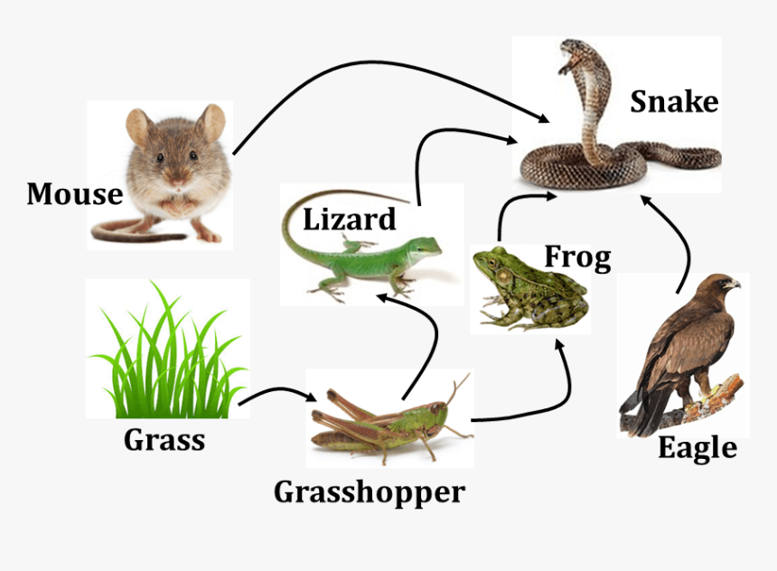 Diagram Shows Food Web Of Animals - Food Web In Science ...