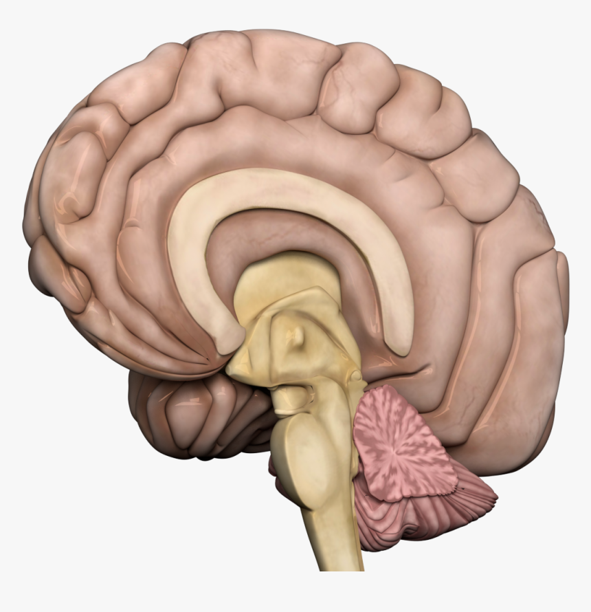 Human Brain Transparent Png - Brain Gif Without Background, Png Download, Free Download