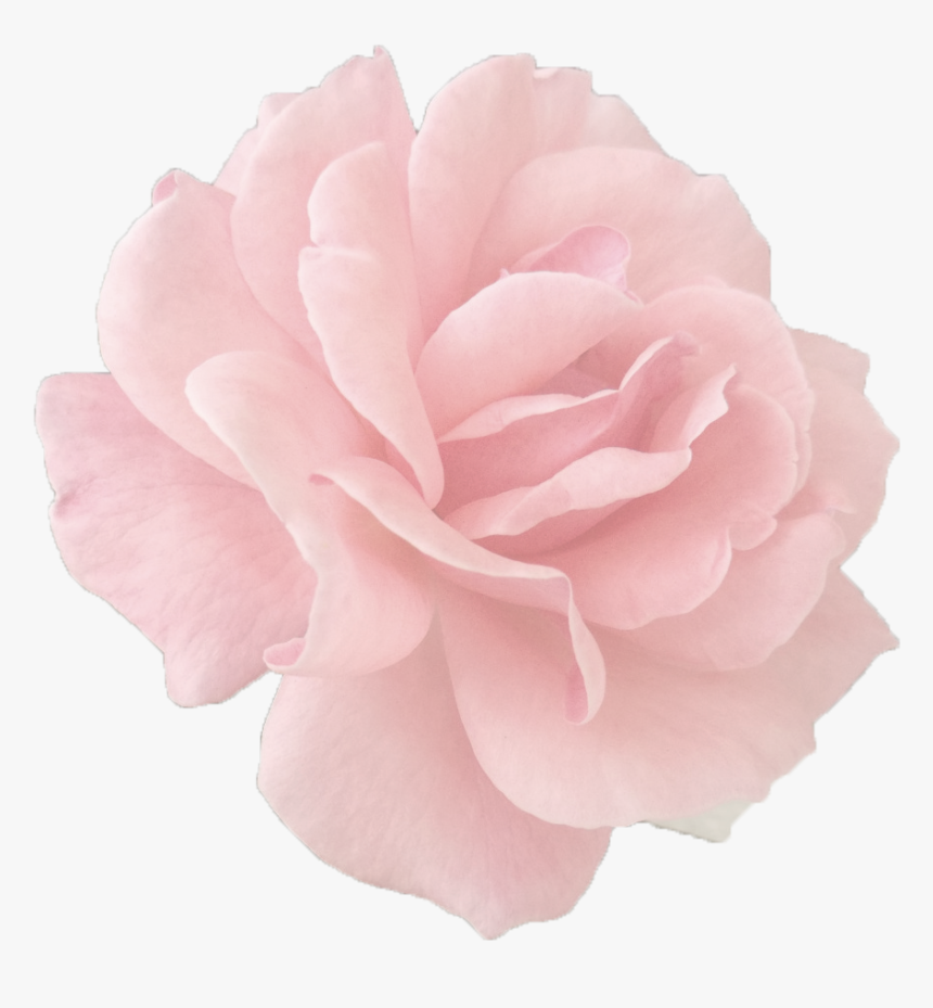 Peony - Rose Gold Rose Png, Transparent Png, Free Download