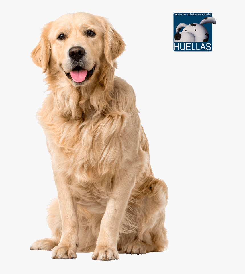 Transparent Huellas Png Golden Labrador Retriever Dogs Png Download Kindpng