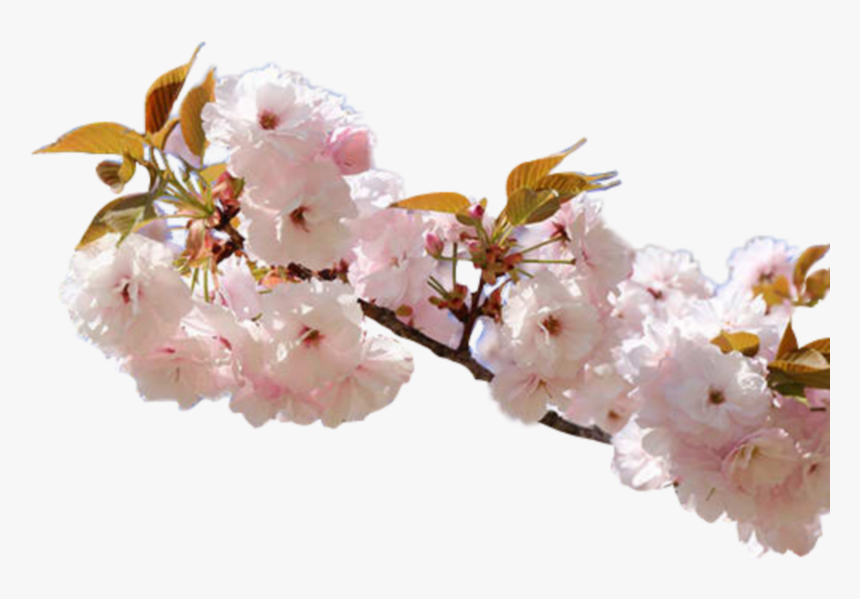 #flower #pink #cherry #nature #rose #blossom #aesthetic - Cherry Blossom, HD Png Download, Free Download
