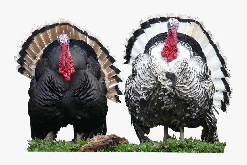 Turkey Bird Png - Turkeys Png, Transparent Png, Free Download