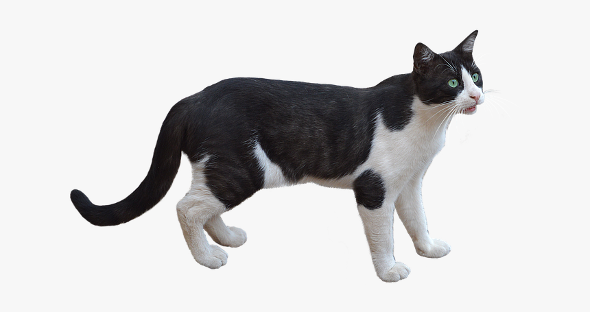 Png, Cat, Pet, Feline, Bottomless, White Color, Animal - Gato Png, Transparent Png, Free Download