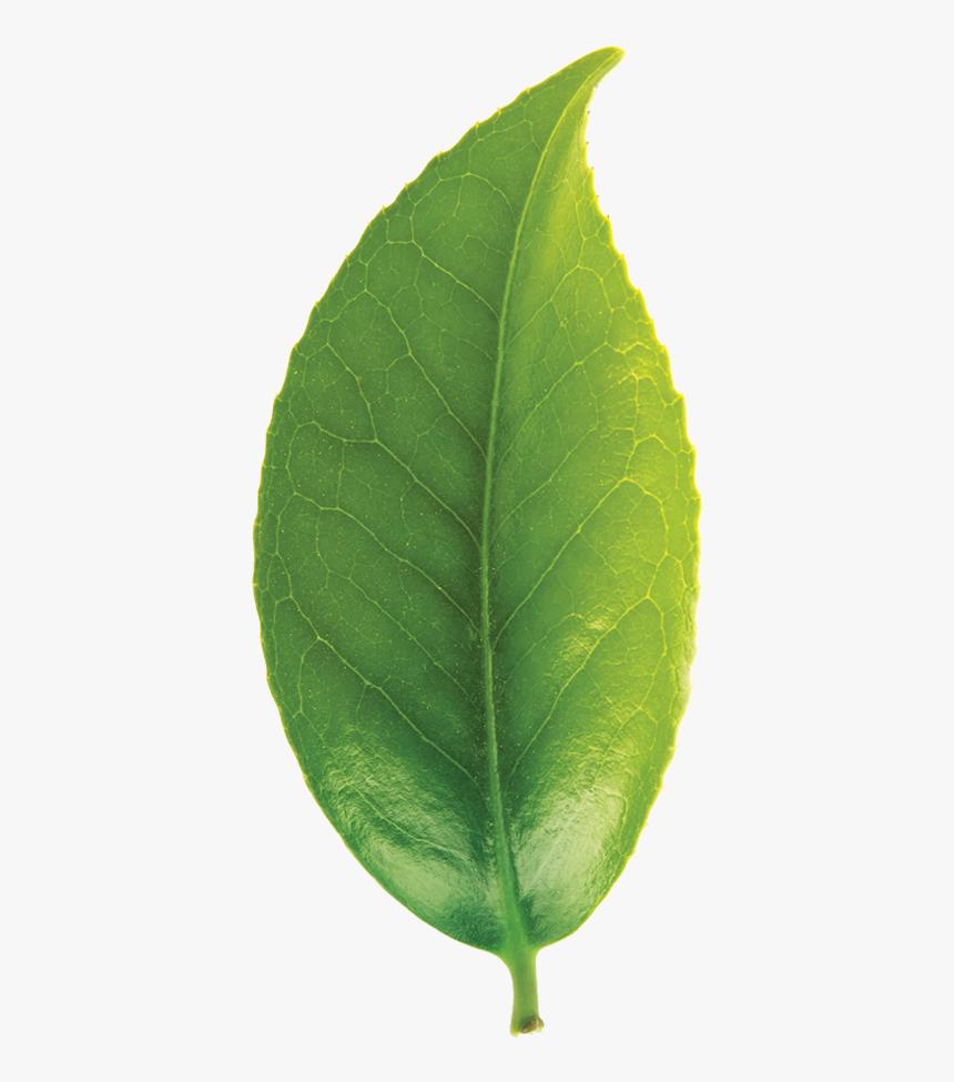 Green Tea Leaf Png Transparent Png Kindpng