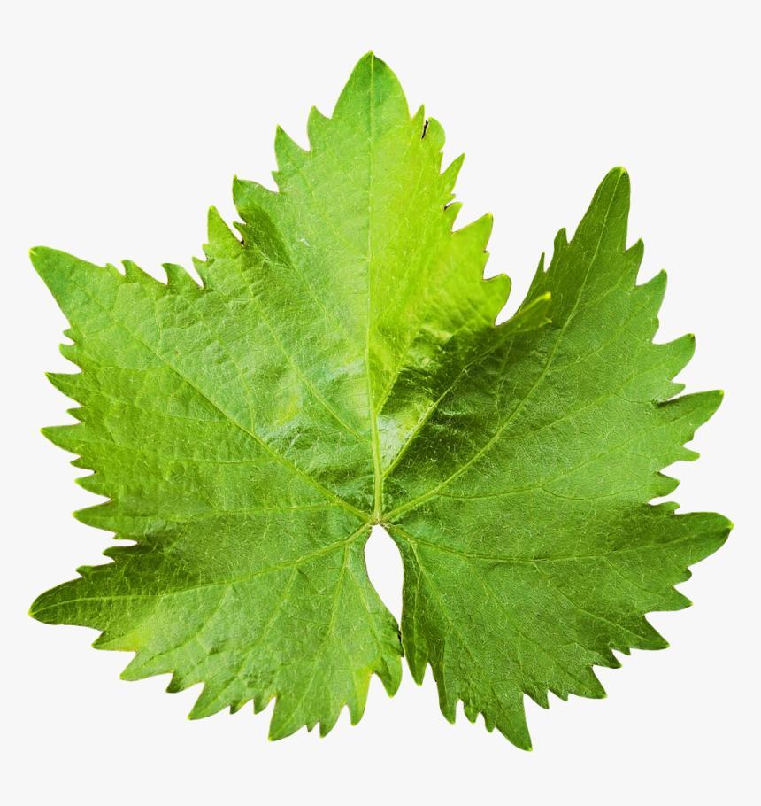 Grape Vine Leaf Png Image - Grape Leaf Png, Transparent Png, Free Download